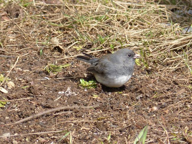 Plump gray bird Ottawa, Ontario Canada