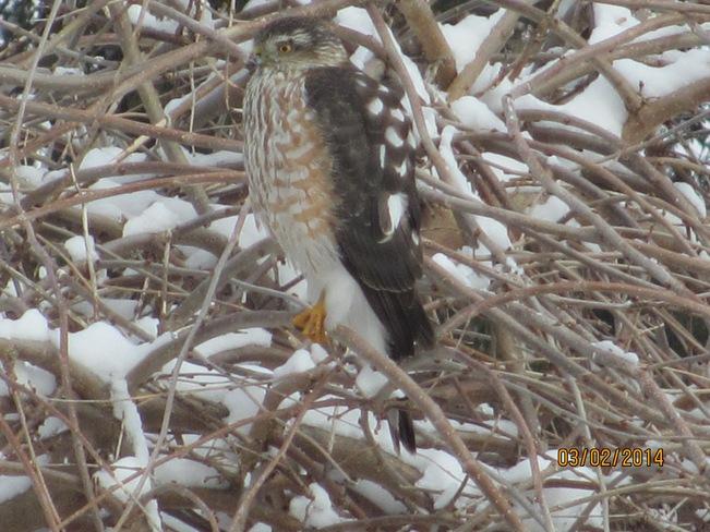 Cooper's hawk Ilderton, Ontario Canada