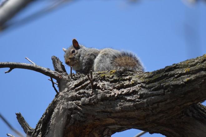 Gray Squirrel! St. Catharines, Ontario Canada