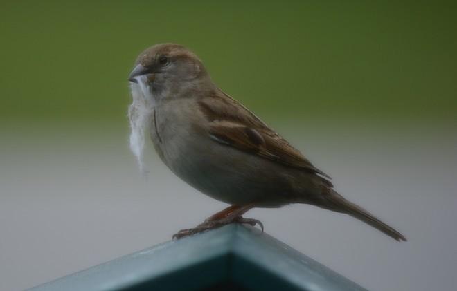 Female House Sparrow! St. Catharines, Ontario Canada