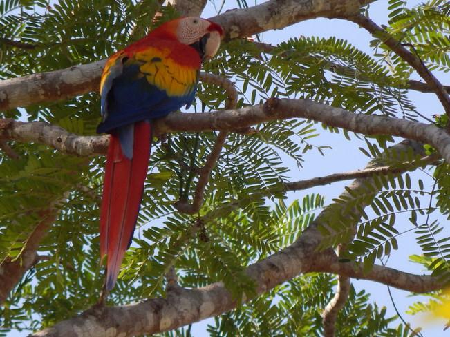 Scarlet Macaw San José, San José Costa Rica