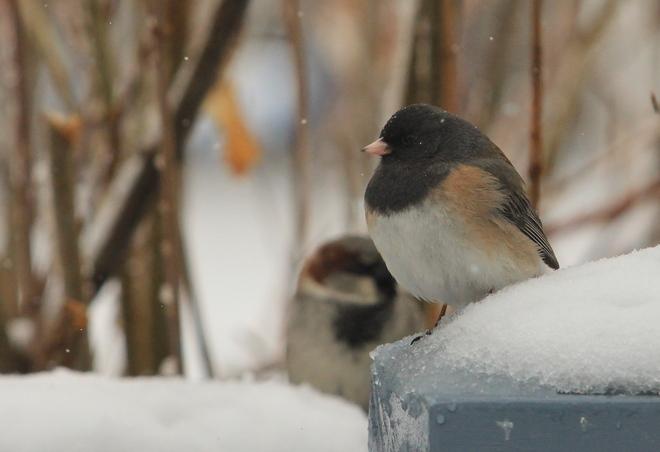 Sparrows in the Snow Dalmeny, Saskatchewan Canada