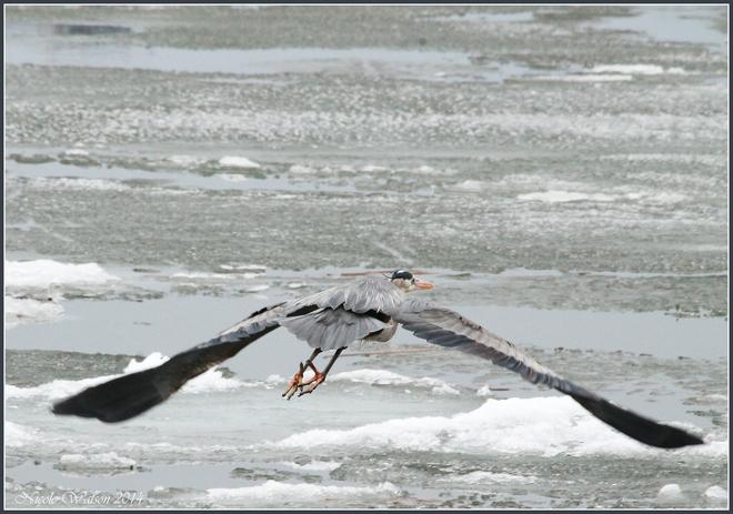 GBH taking off! Kingston, Ontario Canada