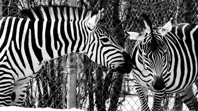 Zebras at the Assiniboine Park Zoo Winnipeg, Manitoba Canada