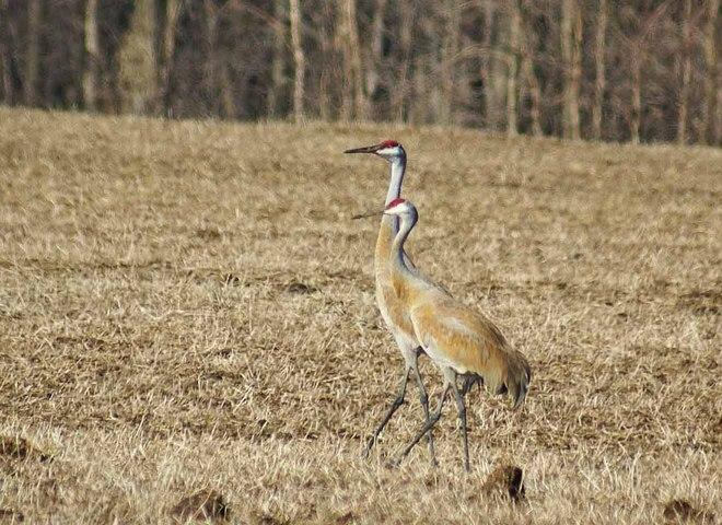 Sandhill cranes Goderich, Ontario Canada