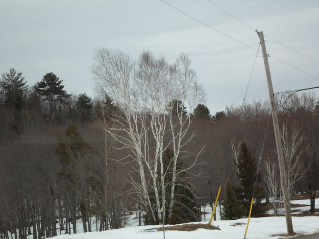 Misty Air/white Birch/Evergreens Elliot Lake, Ontario Canada