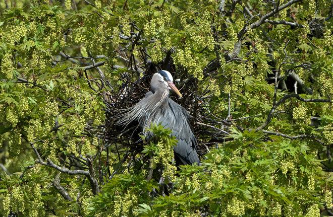 GBH - Guardian Of The Nest Tsawwassen, British Columbia Canada