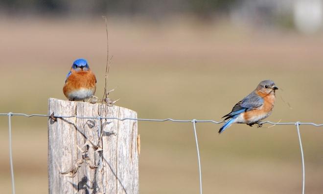 Mrs. & Mr. Bluebird Cambridge, Ontario Canada