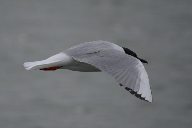 Bonaparte's Gull! St. Catharines, Ontario Canada