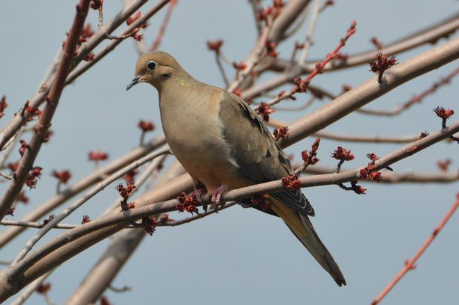 Mourning Dove Delhi, Ontario Canada