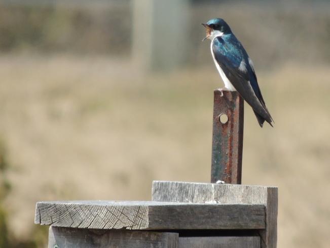 Barn Swallow calling dibs Aurora, Ontario Canada