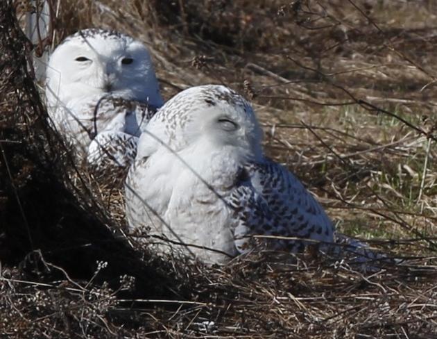 Two of three Snowy Owls at the Experimental Farm Ottawa, Ontario Canada