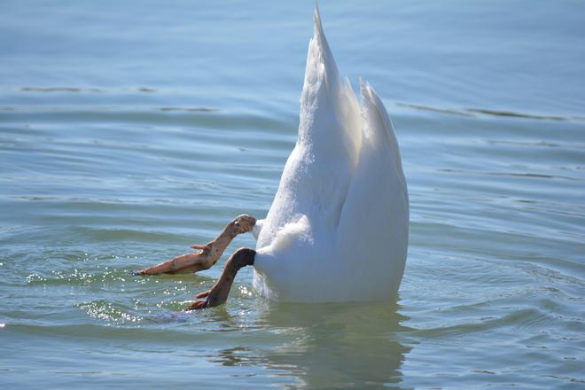 Mute Swan also Camera Shy! St. Catharines, Ontario Canada