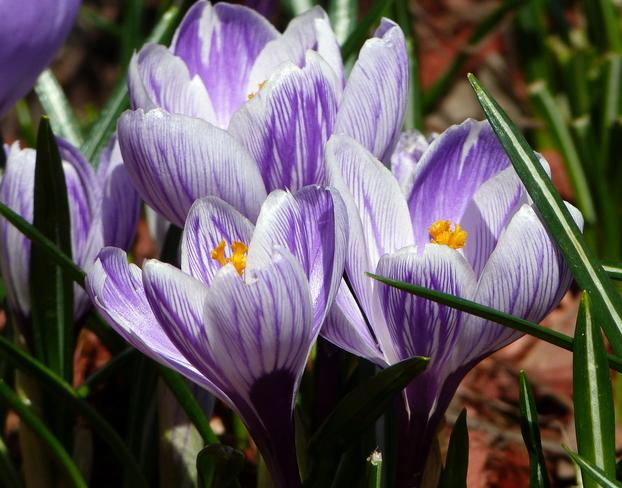 Spring Crocus Okotoks, Alberta Canada