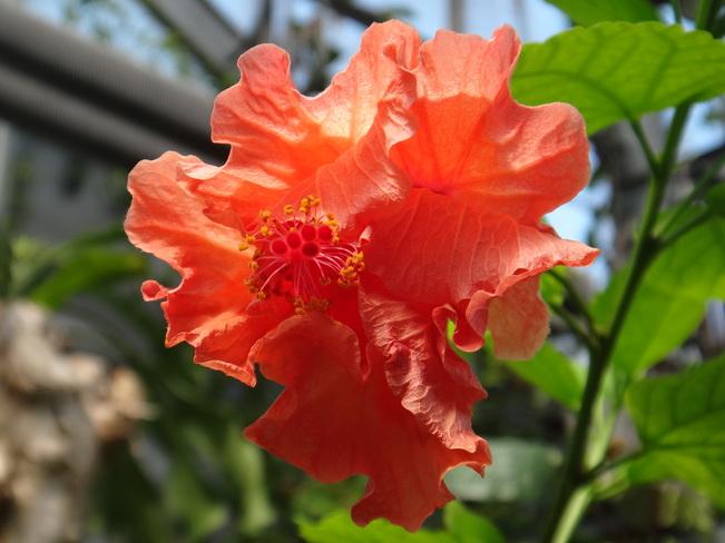 Beautiful Rose. Toronto, Ontario Canada