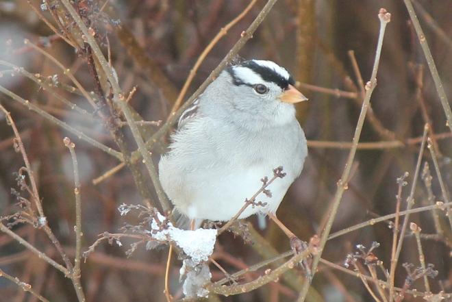 White-crowned sparrow Vanscoy, Saskatchewan Canada