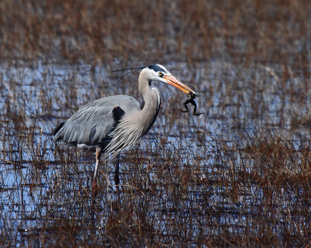 Heron Tobermory, Ontario Canada
