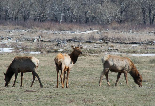 International Elk Herd