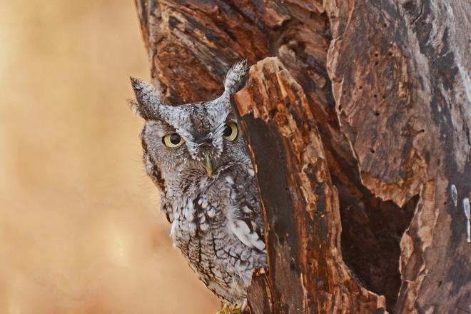 Screetch Owl