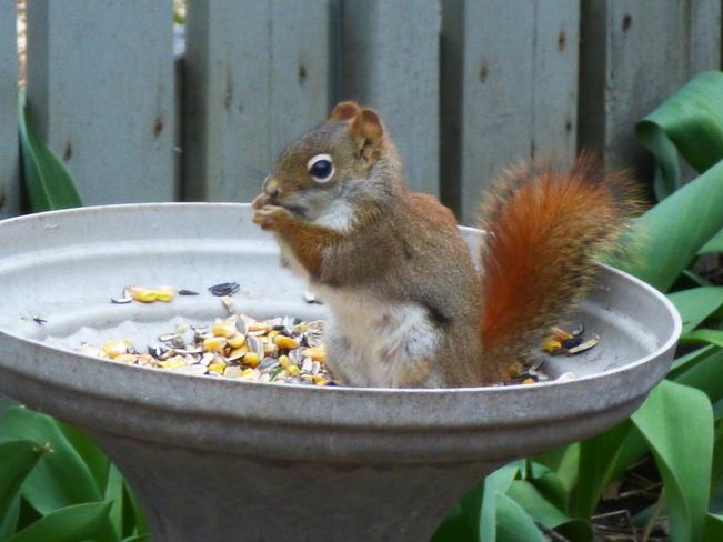 Red Squirrel enjoying Rascal Feed Orleans, Ontario Canada