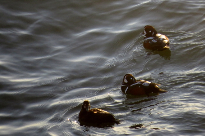 oiseaux de mer Chandler, Quebec Canada