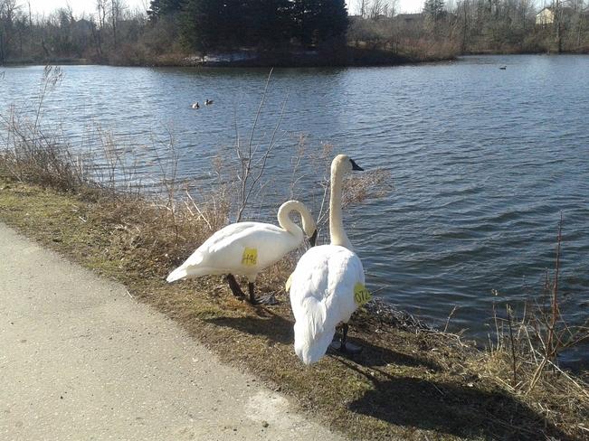 Swans Brampton, Ontario Canada