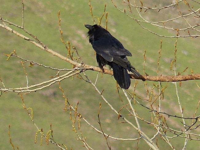 Raven Grand Forks, British Columbia Canada