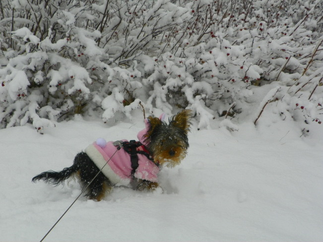 Bella enjoying the spring snow in Grand Beach, NL Grand Bank, Newfoundland and Labrador Canada