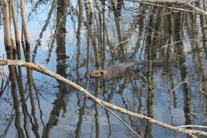 beaver Miramichi, New Brunswick Canada