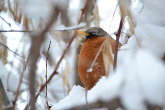 Snowy Robin Calgary, Alberta Canada