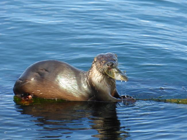 Otter's dinner Mayne Island 6, British Columbia Canada
