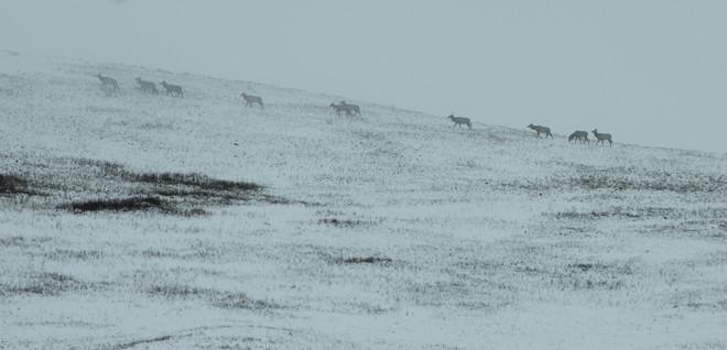 Elk herd grazing the upper slopes Claresholm, Alberta Canada