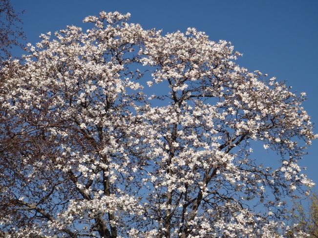 Magnolia tree. Toronto, Ontario Canada