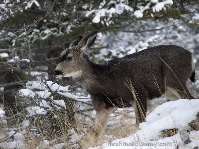 A lone deer. Radium Hot Springs, British Columbia Canada