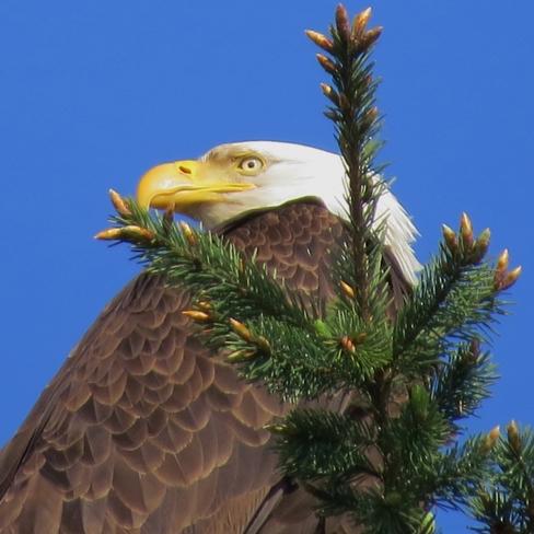 eagle Campbell River, British Columbia Canada