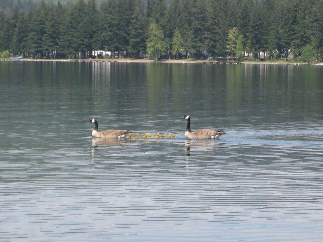 Family of Canada Geese soaking up the sun Cultus Lake, British Columbia Canada
