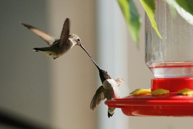 Black Chinned Hummingbirds Hurricane, Utah United States