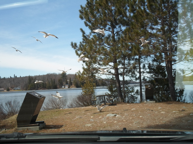 Sea Gulls/in Flight/3 in a row/E.L Elliot Lake, Ontario Canada