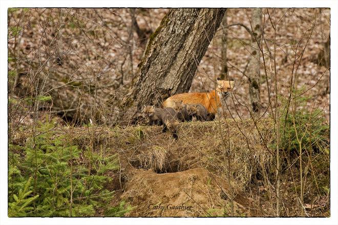 Fox and pups. Magnetawan, Ontario Canada