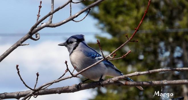geai bleu sous ciels bleus Six Roads, New Brunswick Canada