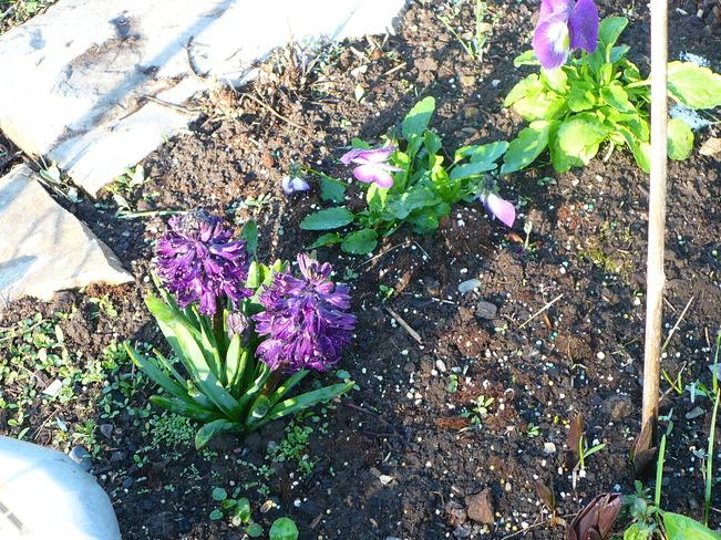 Black Hyacinth Quesnel, British Columbia Canada