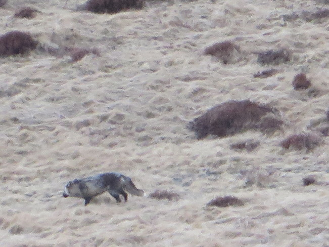 A fox on Signal Hill St. John's, Newfoundland and Labrador Canada