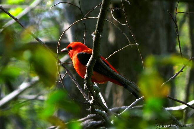 Scarlet Tanager Tilbury, Ontario Canada