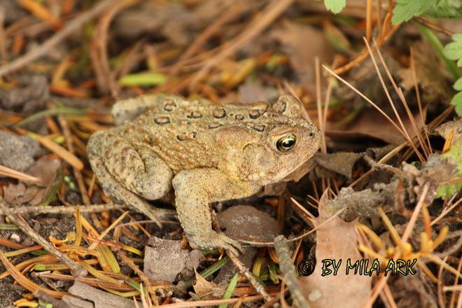 Frog Toronto, Ontario Canada