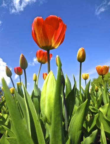 spring tulips Ottawa, Ontario Canada