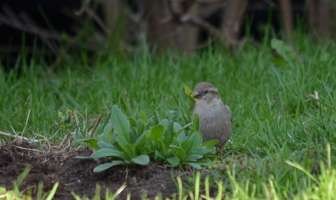 Little Sparrow Brampton, Ontario Canada