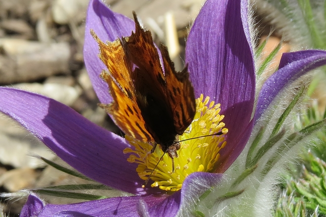 Butterfly on Pasque Flower Vanscoy, Saskatchewan Canada