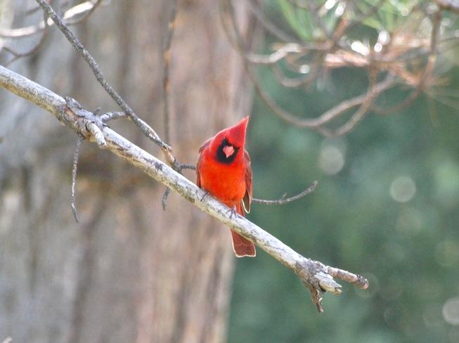 Cardinal (Male) London, Ontario Canada