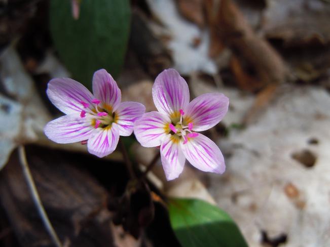 Spring Beauty Oro-Medonte, ON