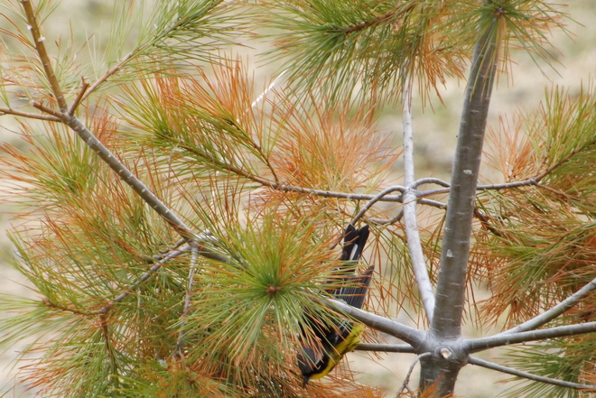 canada warbler Thunder Bay, ON
